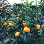 自然農のみかん作り orengeparkfarm